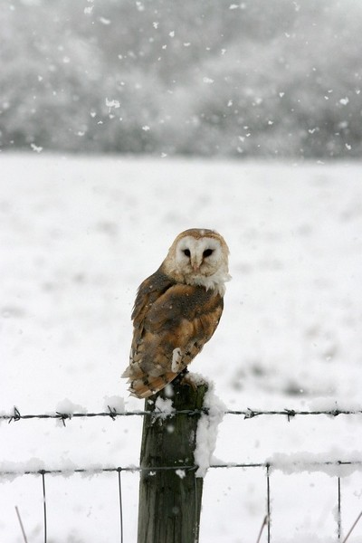 Barn Owl in heavy snow