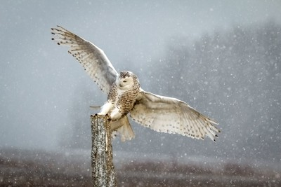 Snowy Owl Saying Hello