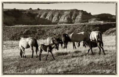 Wild Horses - Theodore Roosevelt National Park