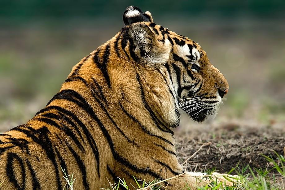 Bengal Tiger 1