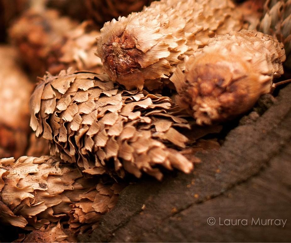 Photogenic pinecones