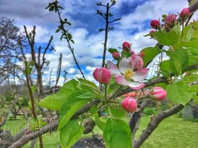 Spring has sprung ???????? #spring #appleblossom #fruittrees #orchards #Hey_ihadtosnapthat #happycaptures #discovertasmania #tasmaniagram #hobartandbeyond #instatassie #tassiepics #tassie #hobart #southerntasmania  #tassiestyle #australiagram #focusaustra