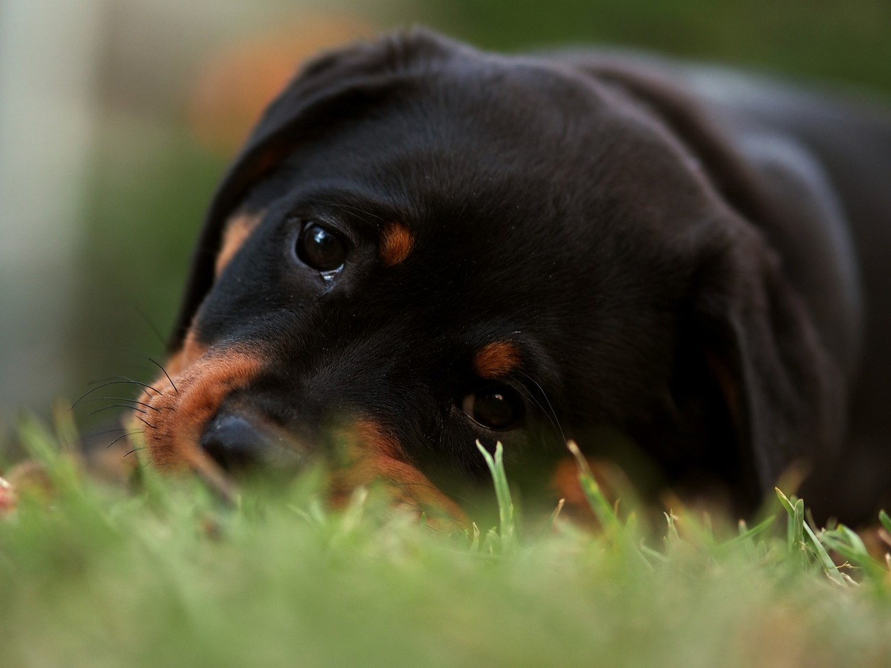 My Rottweiler back when she was a puppy loved playing with the camera and was always a great subject for practicing portrait photography, was laying on the grass with her when I took this image and she kept crawling forwards and tilting her head .