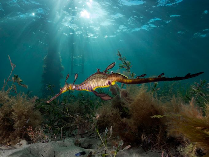 Sunburst Weedy Sea Dragon by Ashley_Missen