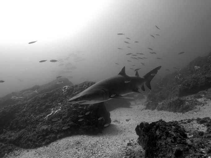 Dramatic Grey Nurse Shark in Black and White by Ashley_Missen
