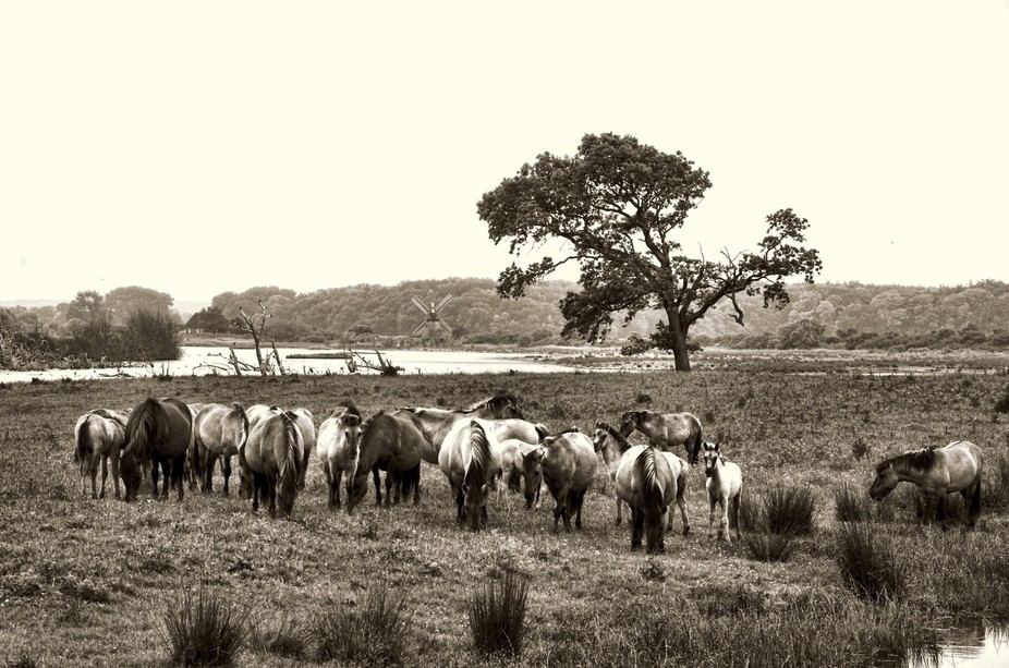 wild living horses in a reservation in Northern Germany