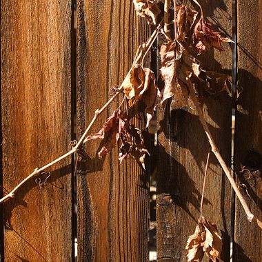 Autumn vines against a weather-worn wooden screen fence