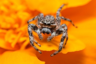 Jumping Spider on a Marigold