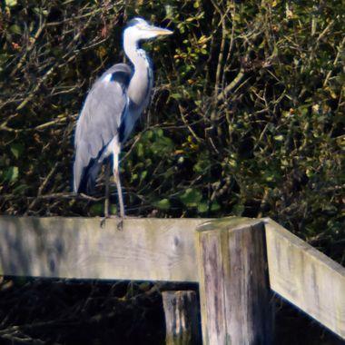 Grey Heron on fence.