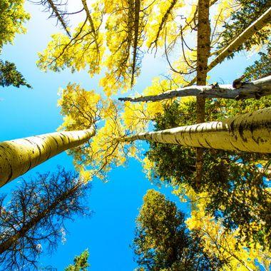 Aspen's along Humphrys Trail - Snow Bowl, AZ