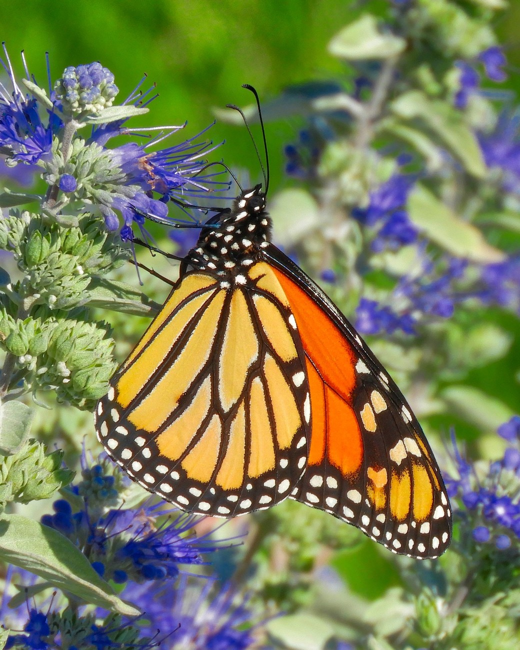Monarch Butterfly - photo taken in the gardens outside the Buffalo and Erie County Botanical Gardens.