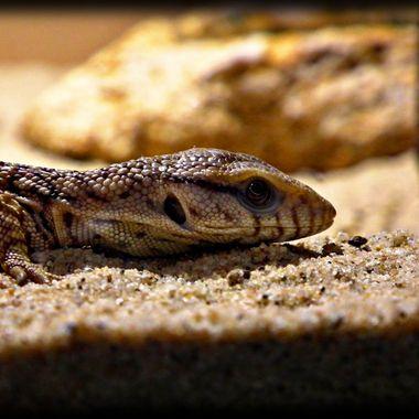 Lizard lying low.