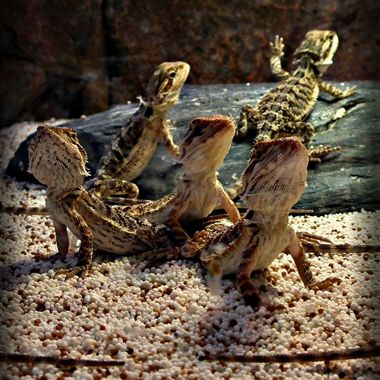 Lizards in all directions.