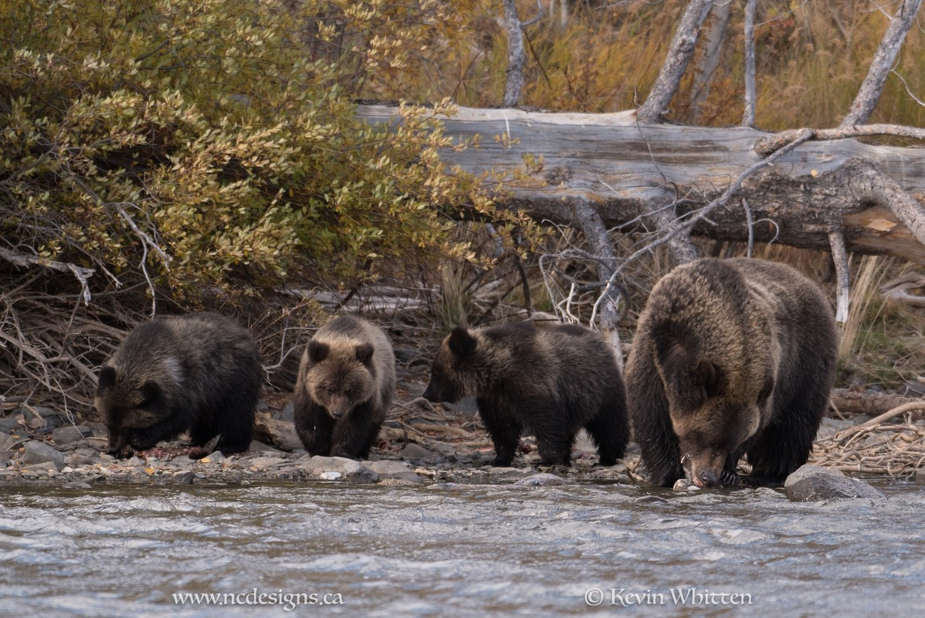 Fishing for salmon on the shores of the Chilko River in BC. Mama Grizzly with three cubs to take care of.