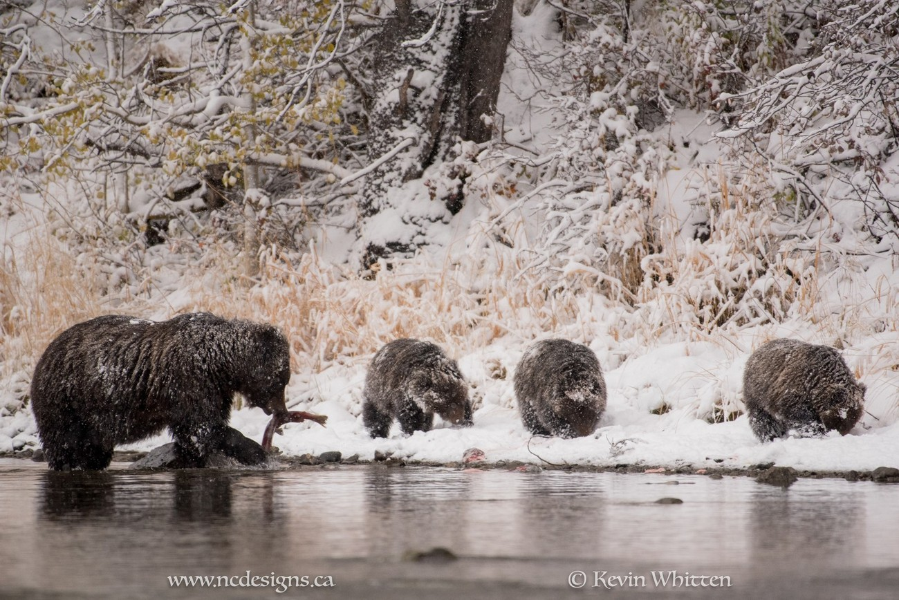 Mama Grizzly snags a salmon as her three cubs tuck into there own salmon on the shore.