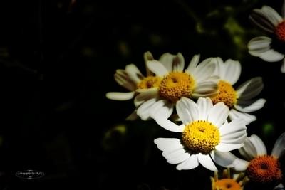 Sunshinning Daisy