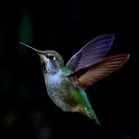 Hummingbirds are among the smallest of birds, most measuring 3–5 inches, and the 5-cm bee hummingbird, weighing less than a U.S. penny! This is...