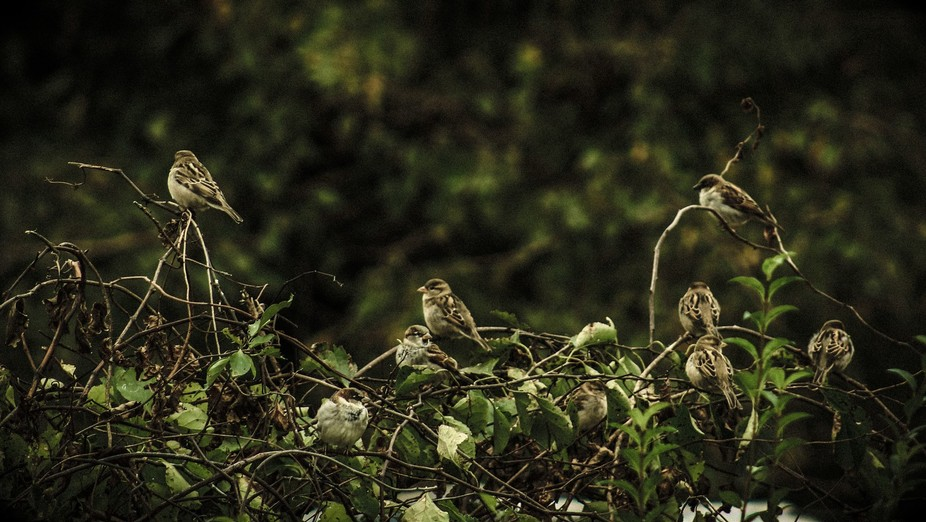 Finches gathering on a foliage covered fence
