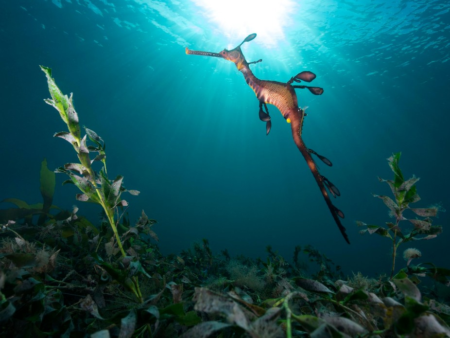 an effort to try capture the full beauty of a sea dragon and a full sun burst together