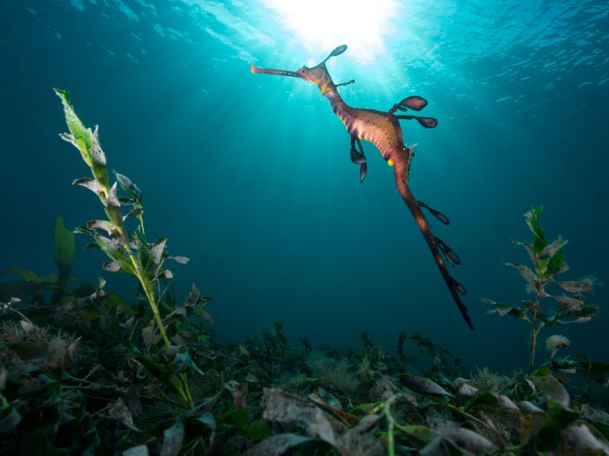 The Mythical Sea Dragon by Ashley_Missen - Animals And Water Photo Contest