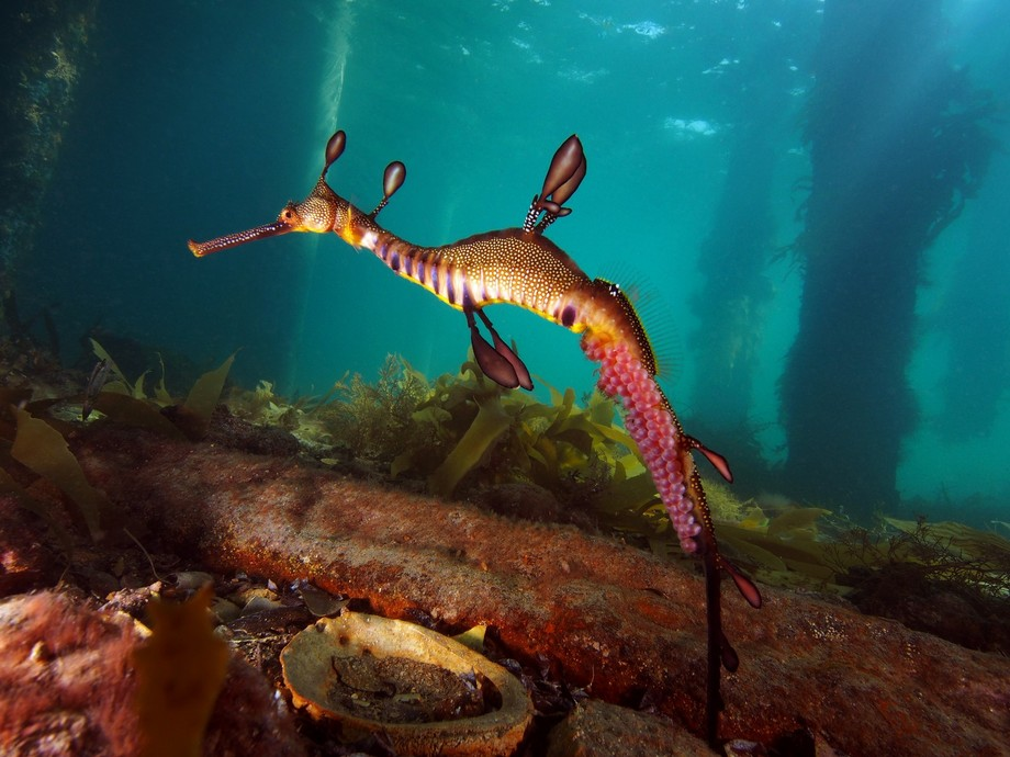 during spring under Flinders Pier in Victoria Australia you can see a few male sea dragon around ...