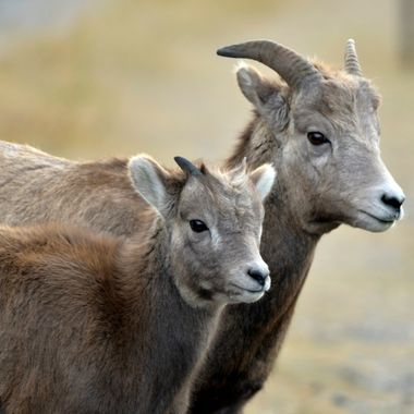 Bighorn ewe and lamb standing side by side in Jasper National Park