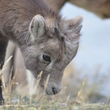 I watched this cute little bighorn lamb for a while in Jasper National Park