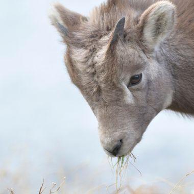 Bighorn lamb grabbing a mouthful of grass in Jasper National Park