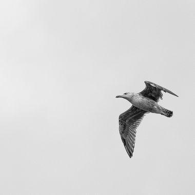 b&w seagull