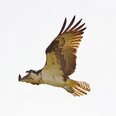 Osprey screaming her defiance. Canal Flats, BC