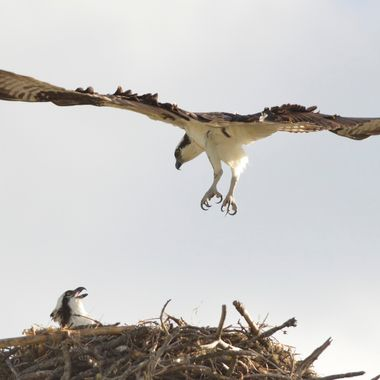 Male Osprey coming in to land on his nest, as his mate awaits