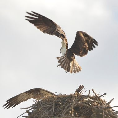 Osprey landing on his nest
