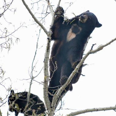 Hard to believe a large bear can fit on those tiny branches!  Eating the poplar catkins in Riding Mountain National Park, Manitoba
