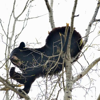 This bear put on quite the stretch to get the juiciest catkin!