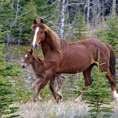 wild horses in the Nordegg region of Alberta
