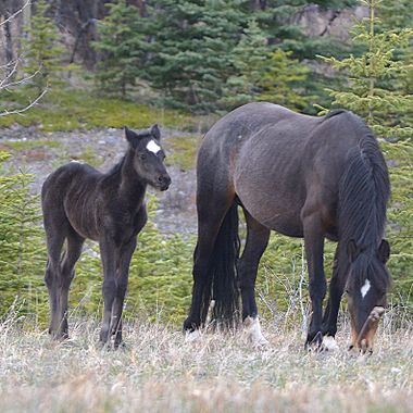 Black Mare and Foal
