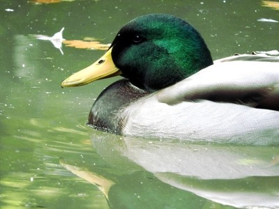 Duck close-up