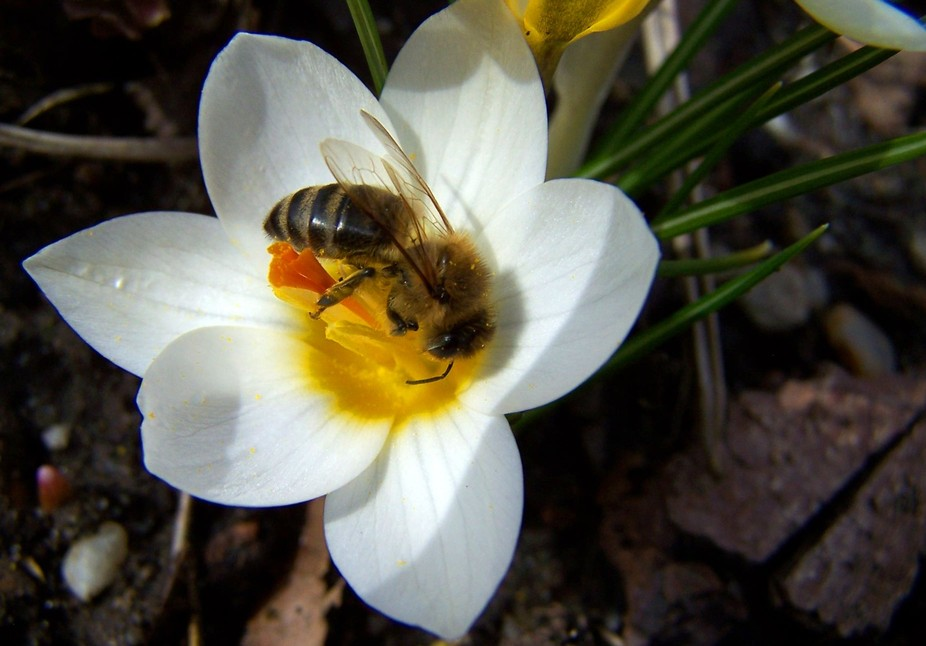 Bee pollinating white spring flower