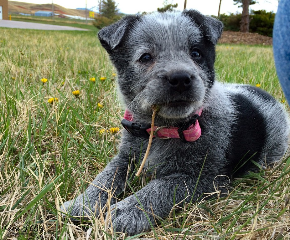 Puppy mischief includes attacking dandelions- she still has a fondness for them.