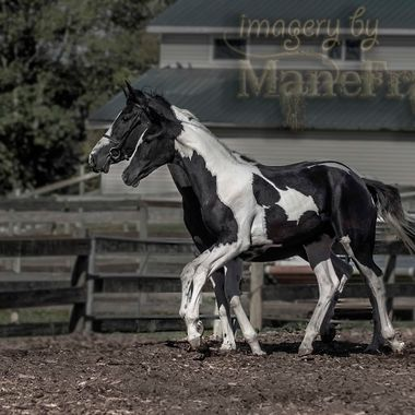 This colt took Grand Champion at the RPSI inspections last week and belongs to Martha Drennan of JMR Pintos in Chilliwack, BC, Canada. I've had the distinct pleasure of working with dozens of Martha's horses over the years, not one of which has ever disappointed for style, colour & intelligence. And, they're always a joy to shoot!