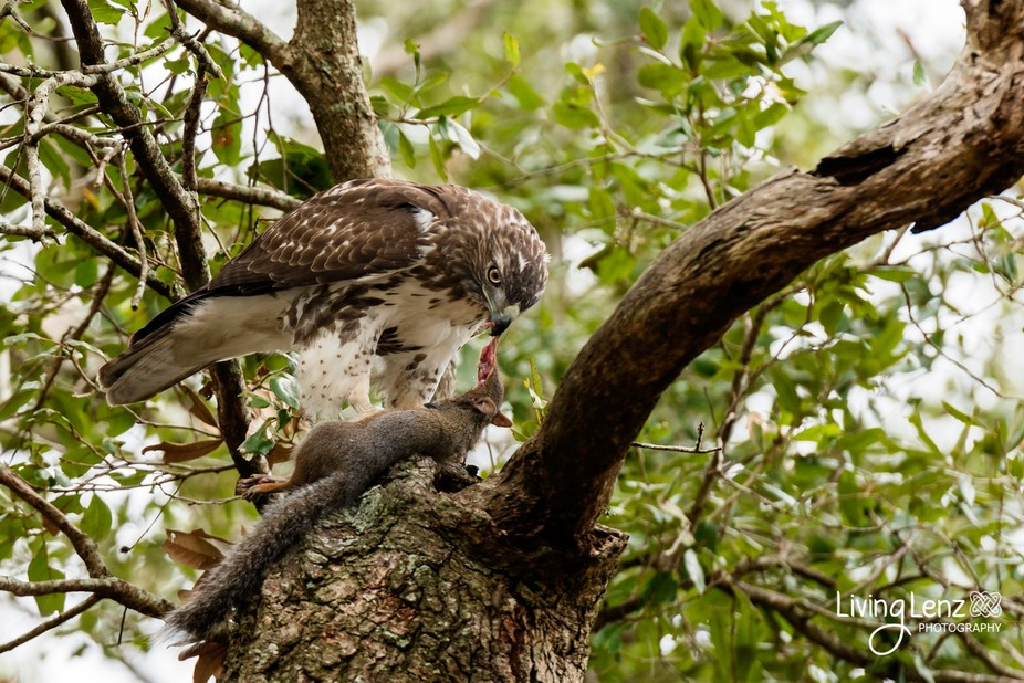 Walking through the park we spotted this amazing Hawk chomping down on a little squirrel. One of ...
