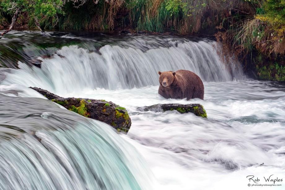 Brown Bear Katmai AK 14