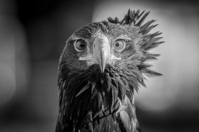 Portrait of a Wedge Tailed Eagle 1