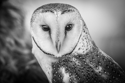 Portrait of a Barn Owl 1