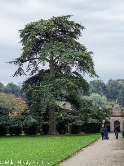 Tree in the Grounds of Montacute House