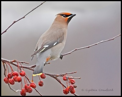Bohemian Waxwing and Berries