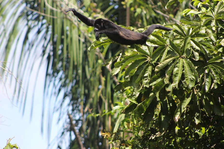Howler monkey taking flight