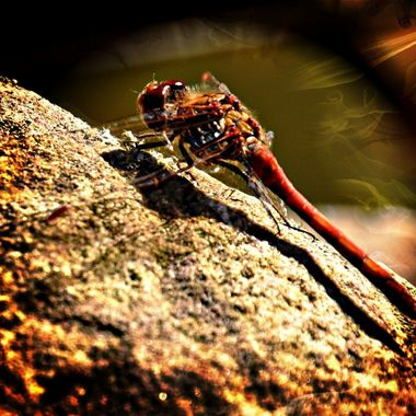 Dragonfly just landed on a rock.