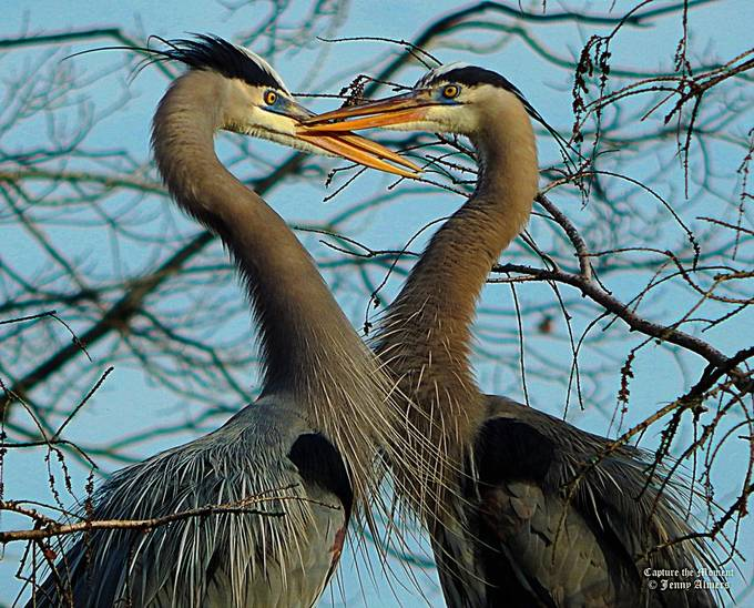 The Heart of Great Blue Herons