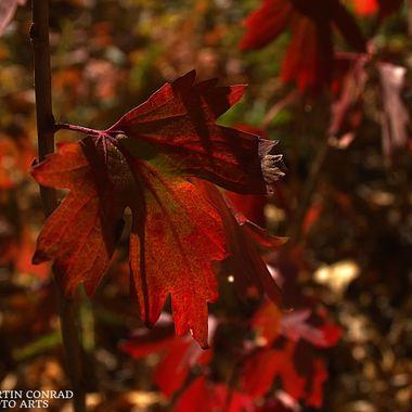 Leaf in Sunshine